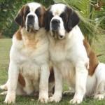 499608 fotos de caes da raça sao bernardo 7 150x150 Fotos de cães da raça São Bernardo