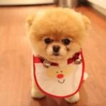500421 Conheça Boo o cão mais fofo do mundo 14 150x150 Conheça Boo: o cão mais fofo do mundo