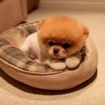 500421 Conheça Boo o cão mais fofo do mundo 15 150x150 Conheça Boo: o cão mais fofo do mundo
