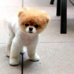500421 Conheça Boo o cão mais fofo do mundo 150x150 Conheça Boo: o cão mais fofo do mundo