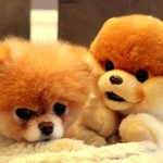 500421 Conheça Boo o cão mais fofo do mundo 20 150x150 Conheça Boo: o cão mais fofo do mundo