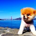 500421 Conheça Boo o cão mais fofo do mundo 21 150x150 Conheça Boo: o cão mais fofo do mundo