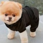 500421 Conheça Boo o cão mais fofo do mundo 4 150x150 Conheça Boo: o cão mais fofo do mundo