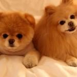 500421 Conheça Boo o cão mais fofo do mundo 7 150x150 Conheça Boo: o cão mais fofo do mundo