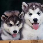 500766 husky siberiano dicas cuidados fotos 12 150x150 Husky Siberiano: dicas, cuidados, fotos