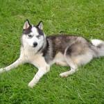 500766 husky siberiano dicas cuidados fotos 14 150x150 Husky Siberiano: dicas, cuidados, fotos