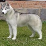 500766 husky siberiano dicas cuidados fotos 15 150x150 Husky Siberiano: dicas, cuidados, fotos