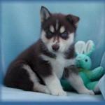 500766 husky siberiano dicas cuidados fotos 17 150x150 Husky Siberiano: dicas, cuidados, fotos