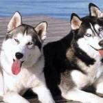 500766 husky siberiano dicas cuidados fotos 20 150x150 Husky Siberiano: dicas, cuidados, fotos