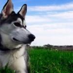 500766 husky siberiano dicas cuidados fotos 24 150x150 Husky Siberiano: dicas, cuidados, fotos