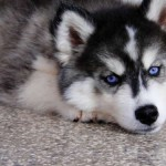 500766 husky siberiano dicas cuidados fotos 25 150x150 Husky Siberiano: dicas, cuidados, fotos