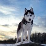 500766 husky siberiano dicas cuidados fotos 29 150x150 Husky Siberiano: dicas, cuidados, fotos