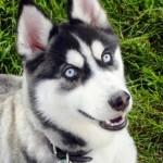 500766 husky siberiano dicas cuidados fotos 31 150x150 Husky Siberiano: dicas, cuidados, fotos
