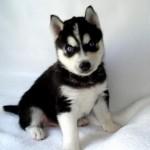 500766 husky siberiano dicas cuidados fotos 7 150x150 Husky Siberiano: dicas, cuidados, fotos