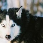 500766 husky siberiano dicas cuidados fotos 8 150x150 Husky Siberiano: dicas, cuidados, fotos