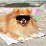 504961 caes da raca lulu da pomerania fotos 10 150x150 Cães da Raça Lulu da Pomerania: fotos