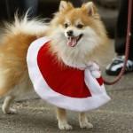 504961 caes da raca lulu da pomerania fotos 12 150x150 Cães da Raça Lulu da Pomerania: fotos