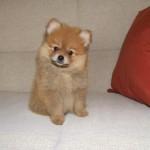 504961 caes da raca lulu da pomerania fotos 16 150x150 Cães da Raça Lulu da Pomerania: fotos