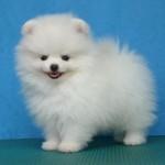 504961 caes da raca lulu da pomerania fotos 20 150x150 Cães da Raça Lulu da Pomerania: fotos