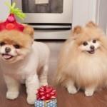 504961 caes da raca lulu da pomerania fotos 22 150x150 Cães da Raça Lulu da Pomerania: fotos