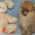 504961 caes da raca lulu da pomerania fotos 28 150x150 Cães da Raça Lulu da Pomerania: fotos