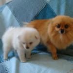 504961 caes da raca lulu da pomerania fotos 3 150x150 Cães da Raça Lulu da Pomerania: fotos