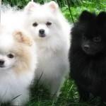 504961 caes da raca lulu da pomerania fotos 31 150x150 Cães da Raça Lulu da Pomerania: fotos