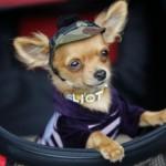 505033 caes da raca chihuahua fotos 11 150x150 Cães da Raça Chihuahua: fotos