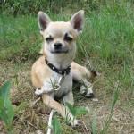 505033 caes da raca chihuahua fotos 13 150x150 Cães da Raça Chihuahua: fotos