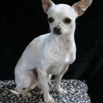 505033 caes da raca chihuahua fotos 14 150x150 Cães da Raça Chihuahua: fotos