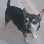 505033 caes da raca chihuahua fotos 15 150x150 Cães da Raça Chihuahua: fotos