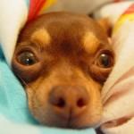 505033 caes da raca chihuahua fotos 17 150x150 Cães da Raça Chihuahua: fotos