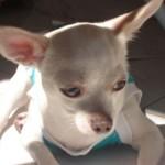 505033 caes da raca chihuahua fotos 18 150x150 Cães da Raça Chihuahua: fotos
