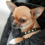 505033 caes da raca chihuahua fotos 19 150x150 Cães da Raça Chihuahua: fotos