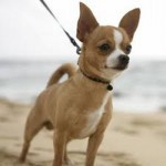 505033 caes da raca chihuahua fotos 2 150x150 Cães da Raça Chihuahua: fotos