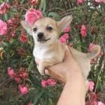 505033 caes da raca chihuahua fotos 20 150x150 Cães da Raça Chihuahua: fotos