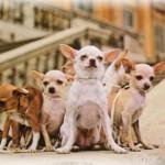505033 caes da raca chihuahua fotos 21 150x150 Cães da Raça Chihuahua: fotos