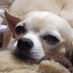 505033 caes da raca chihuahua fotos 22 150x150 Cães da Raça Chihuahua: fotos