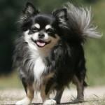505033 caes da raca chihuahua fotos 23 150x150 Cães da Raça Chihuahua: fotos