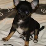 505033 caes da raca chihuahua fotos 24 150x150 Cães da Raça Chihuahua: fotos
