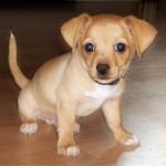 505033 caes da raca chihuahua fotos 25 150x150 Cães da Raça Chihuahua: fotos