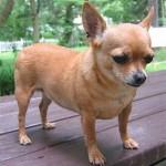 505033 caes da raca chihuahua fotos 26 150x150 Cães da Raça Chihuahua: fotos