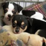505033 caes da raca chihuahua fotos 28 150x150 Cães da Raça Chihuahua: fotos