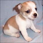 505033 caes da raca chihuahua fotos 29 150x150 Cães da Raça Chihuahua: fotos