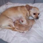 505033 caes da raca chihuahua fotos 3 150x150 Cães da Raça Chihuahua: fotos