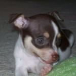 505033 caes da raca chihuahua fotos 30 150x150 Cães da Raça Chihuahua: fotos