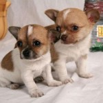 505033 caes da raca chihuahua fotos 32 150x150 Cães da Raça Chihuahua: fotos