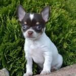 505033 caes da raca chihuahua fotos 33 150x150 Cães da Raça Chihuahua: fotos