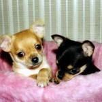 505033 caes da raca chihuahua fotos 35 150x150 Cães da Raça Chihuahua: fotos