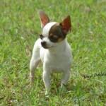 505033 caes da raca chihuahua fotos 6 150x150 Cães da Raça Chihuahua: fotos